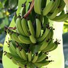 Dwarf Cavendish Banana Plant