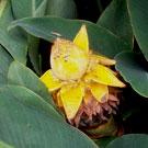 Chinese Yellow Banana Plant