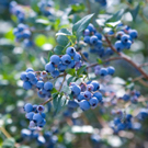 Briteblue Blueberry Plant