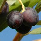 Manzanilla Olive Tree