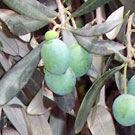 Barouni Olive Tree