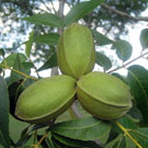 Curtis Pecan Tree