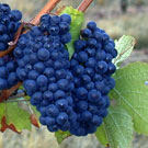 Pinot Noir Wine Grape Vine