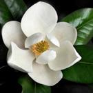 Magnolia Grandiflora 'D D Blanchard'