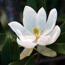 Magnolia virginiana 'Sweetbay'
