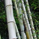 Blue Henon Bamboo Plant