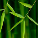 Willowy Green Bamboo Plant