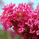 Tuscarora Crepe Myrtle