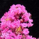 Pink Velour Crepe Myrtle