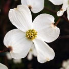 Cornus florida 'Weaver' White Dogwood