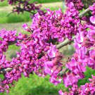Cercis canadensis 'American Redbud'