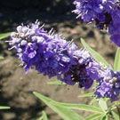 Blue Vitex Tree