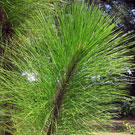 Sonderegger Pine Tree