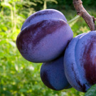 Blue Damson Plum