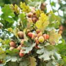 Burr Oak