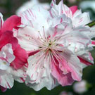 Peppermint Flowering Peach Tree