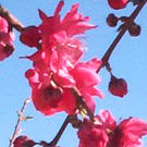 Double Red Flowering Peach Tree