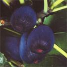 Black Jack Fig Tree