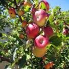 Pink Lady® Apple Tree
