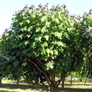 Purple Catalpa Tree