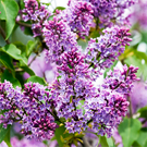 Purple Lilac Tree