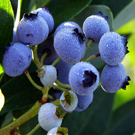 Rubel Northern Highbush Blueberry Plant