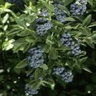 Hardyblue Northern Highbush Blueberry