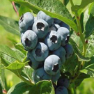 Brigitta Northern Highbush Blueberry