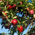 Dwarf Red Delicious Apple Tree