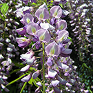 Royal Purple Wisteria