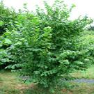 Eta Hazelnut Tree