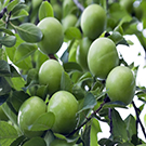 Persian Green Plum