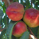 Goldmine Nectarine Tree