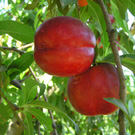 Sunred Nectarine Tree