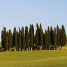 Cypress Tree Family