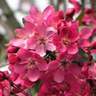 Flowering Crabapple Trees