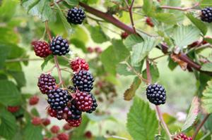 cherokee blackberry