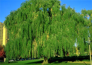 About Weeping Willow Tree...