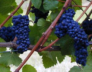 About Pinot Noir Wine Grape Vine   Pinot Noir Grape Vines