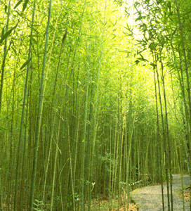 Golden Bamboo Plant | Where to Buy Bamboo Plants | Willis Orchards