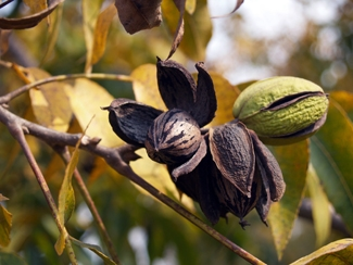 Native Pecan Tree