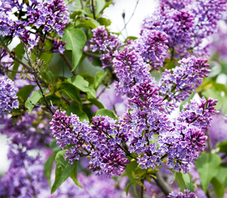 Purple Lilac Tree | Flowering Trees | Willis Orchards