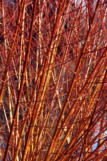 Flame Willow Where To Buy Willow Tree Willis Orchards