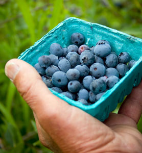 Brightwell Blueberry Southern Blueberry Plants Willis