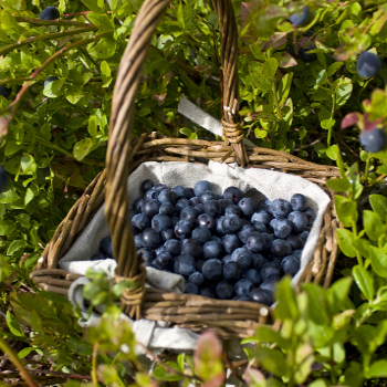 Blueray Blueberry Northern Blueberry Plants Willis