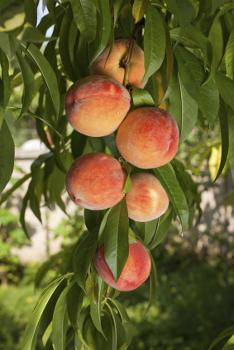 sam houston peach tree peach trees willis orchards