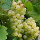 Sauvignon Blanc Wine Grape Vine