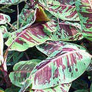 Rojo (Blood Leaf) Banana Plant