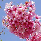 Pink Cloud Flowering Cherry