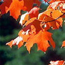 Southern Sugar Maple Tree